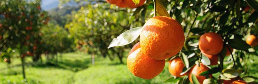 bandeau_mandarines